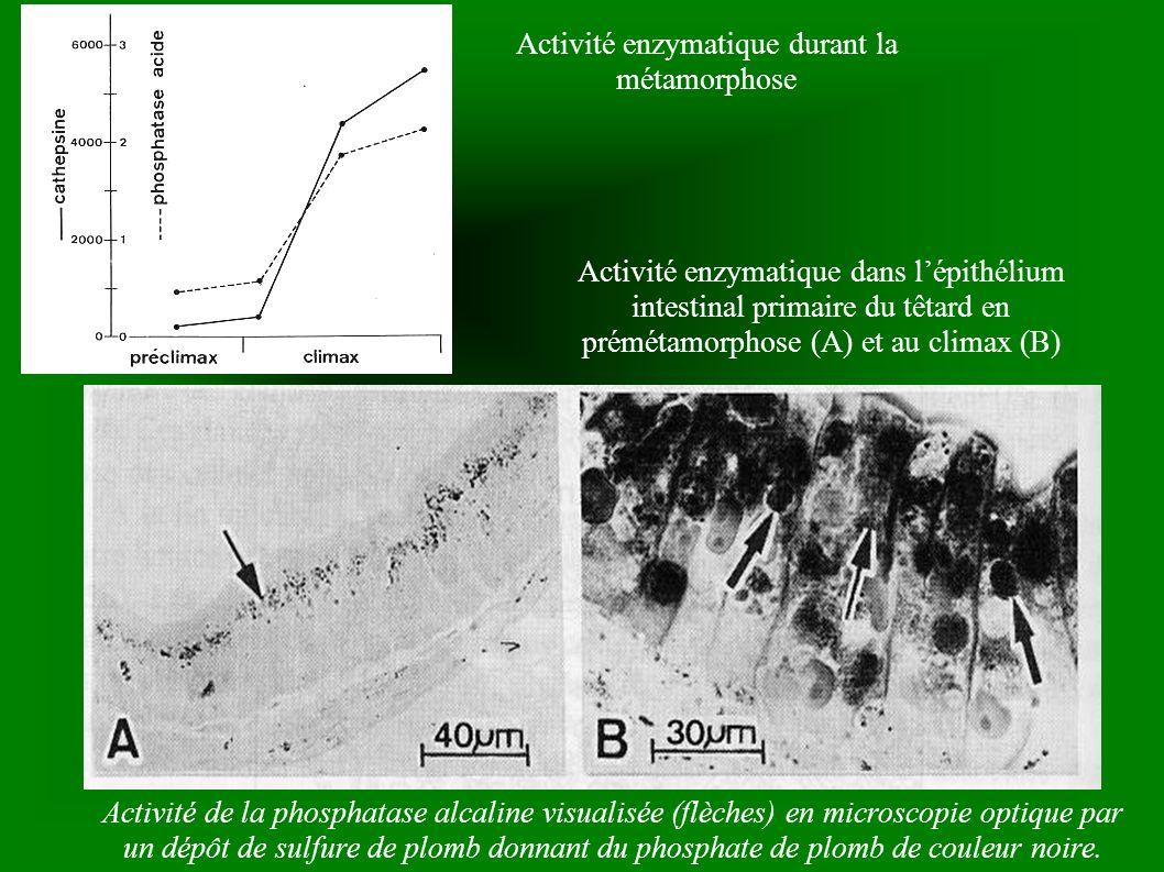 Activité enzymatique durant la métamorphose Activité enzymatique dans lépithélium intestinal primaire du têtard en prémétamorphose (A) et au climax (B