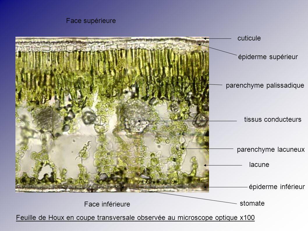 cuticule épiderme supérieur parenchyme palissadique tissus conducteurs parenchyme lacuneux lacune épiderme inférieur stomate Face supérieure Face infé