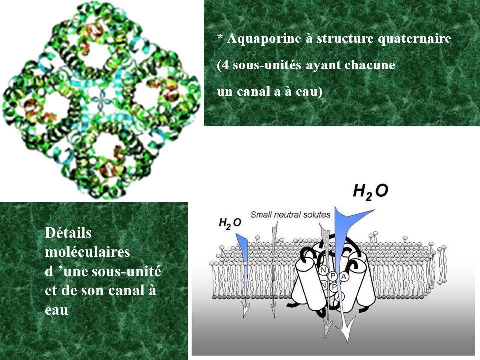 * Aquaporine à structure quaternaire (4 sous-unités ayant chacune un canal a à eau) Détails moléculaires d une sous-unité et de son canal à eau