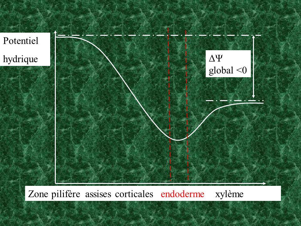 Zone pilifère assises corticales endoderme xylème Potentiel hydrique ΔΨ global <0