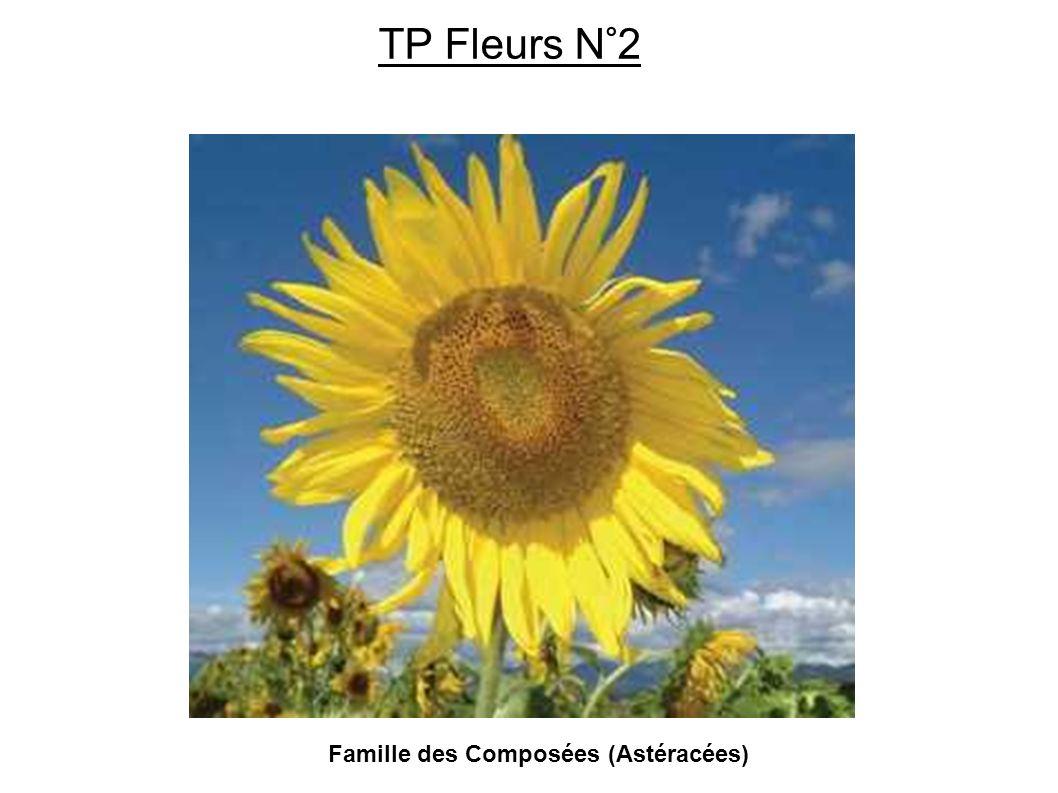 Famille des Composées (Astéracées) TP Fleurs N°2