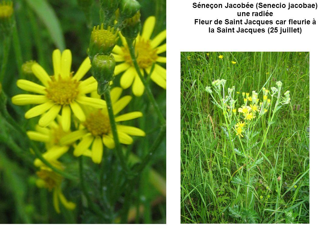 Séneçon Jacobée (Senecio jacobae) une radiée Fleur de Saint Jacques car fleurie à la Saint Jacques (25 juillet)