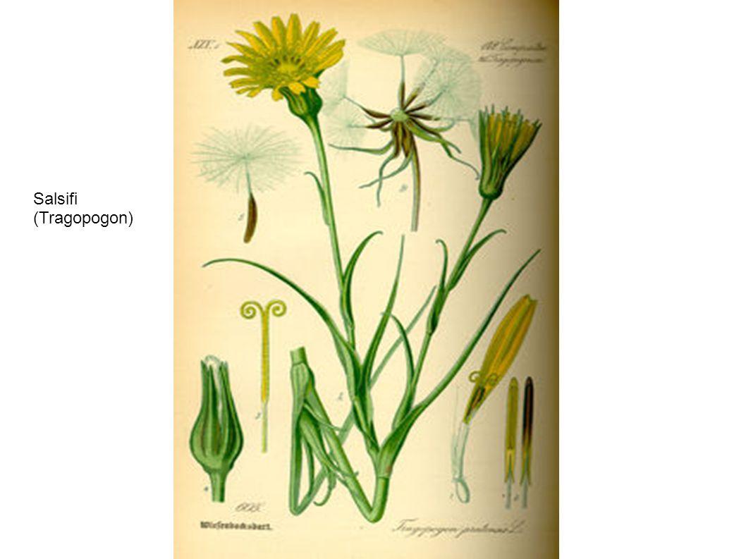 Salsifi (Tragopogon)