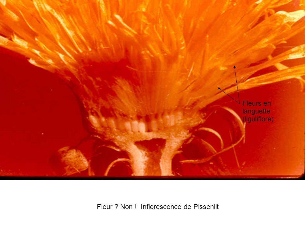 Fleur ? Non ! Inflorescence de Pissenlit Fleurs en languette (liguliflore)