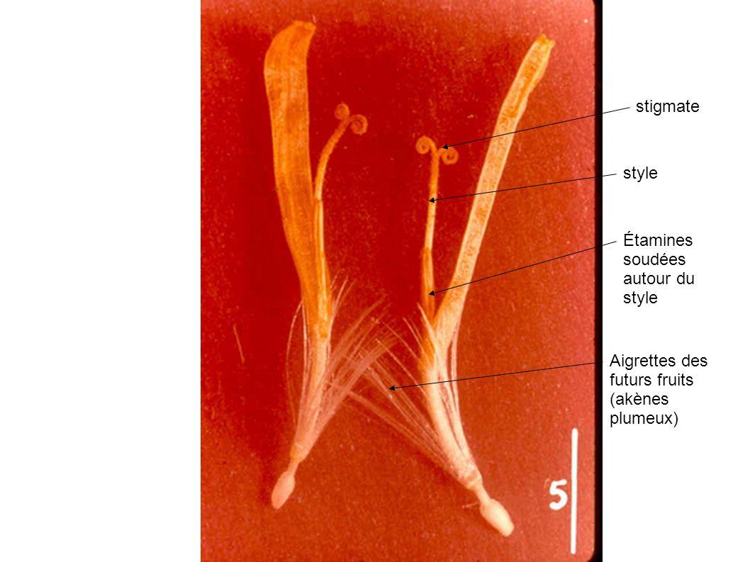 Aigrettes des futurs fruits (akènes plumeux) Étamines soudées autour du style style stigmate