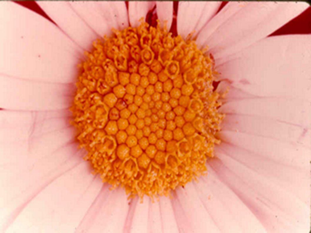 Les capitules d Achillée millefeuille, constitués de quelques fleurs seulement Un capitule