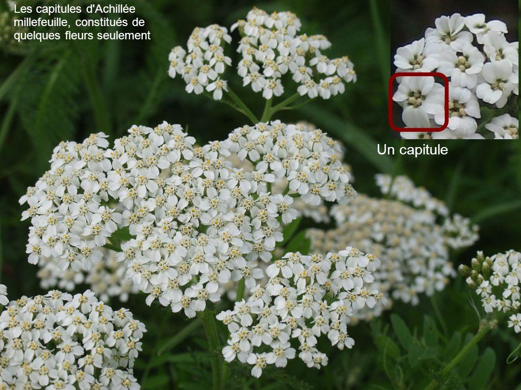 Les capitules d'Achillée millefeuille, constitués de quelques fleurs seulement Un capitule