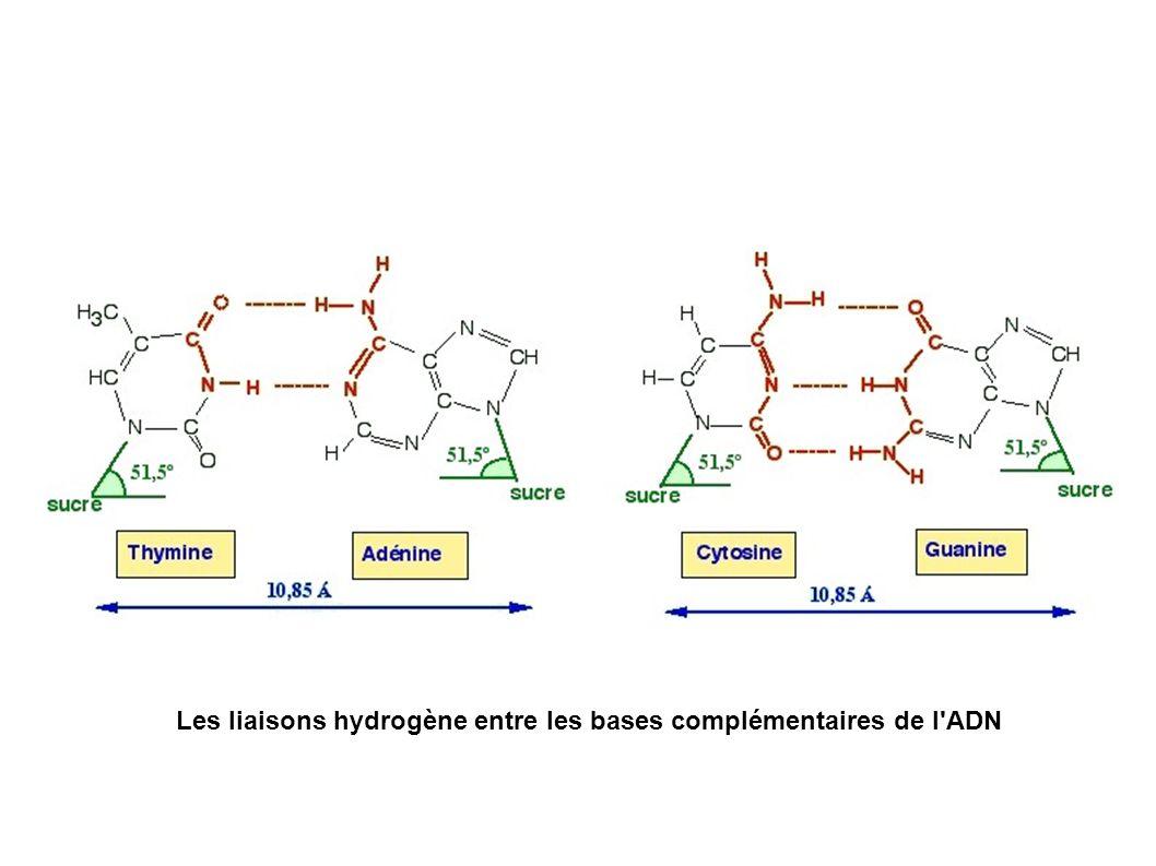 Les liaisons hydrogène entre les bases complémentaires de l ADN