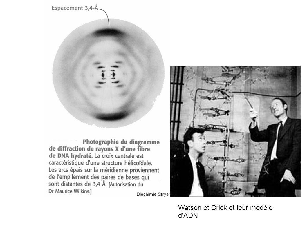 Watson et Crick et leur modèle d ADN