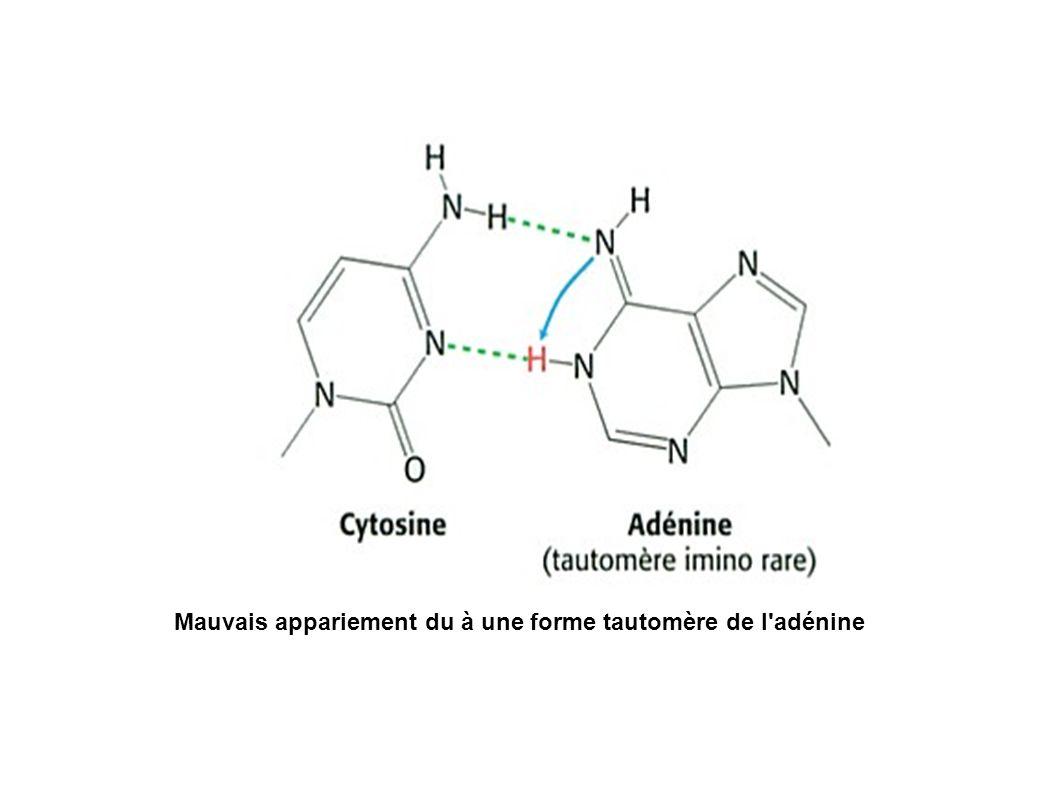 Mauvais appariement du à une forme tautomère de l adénine