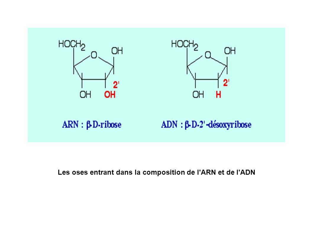 La liaison N-glucosidique à l origine des nucléosides