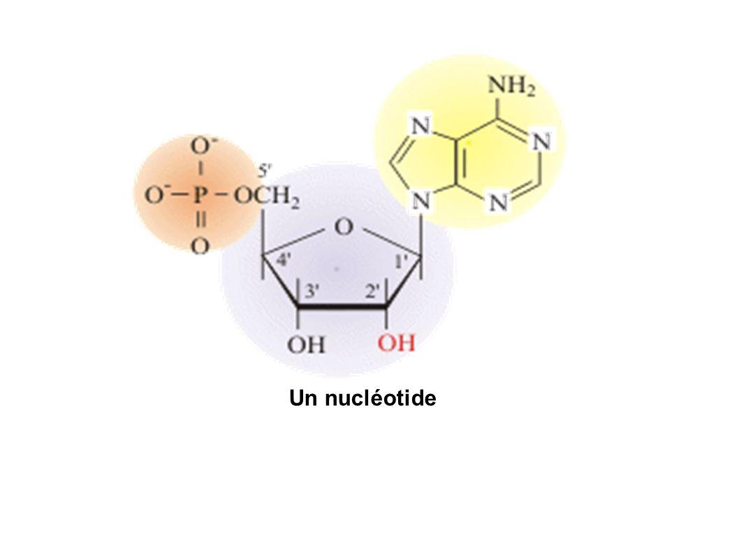 Un nucléotide