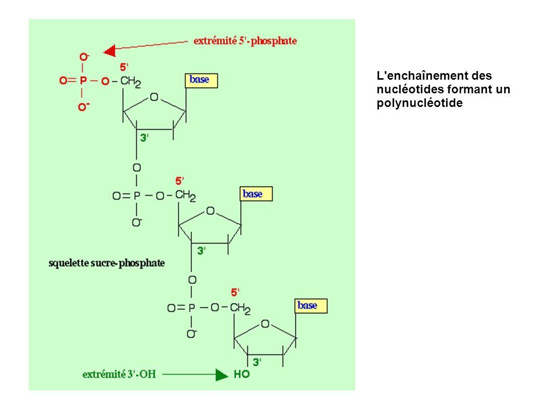 L enchaînement des nucléotides formant un polynucléotide