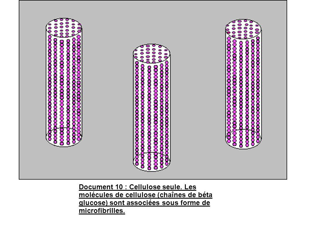 Document 10 : Cellulose seule. Les molécules de cellulose (chaînes de béta glucose) sont associées sous forme de microfibrilles.