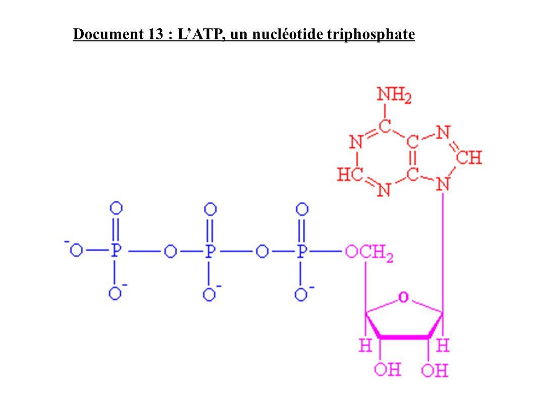 Document 13 : LATP, un nucléotide triphosphate