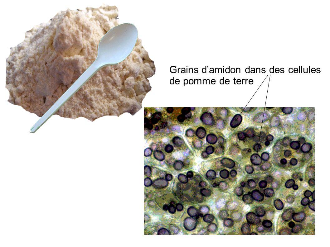 Grains damidon dans des cellules de pomme de terre