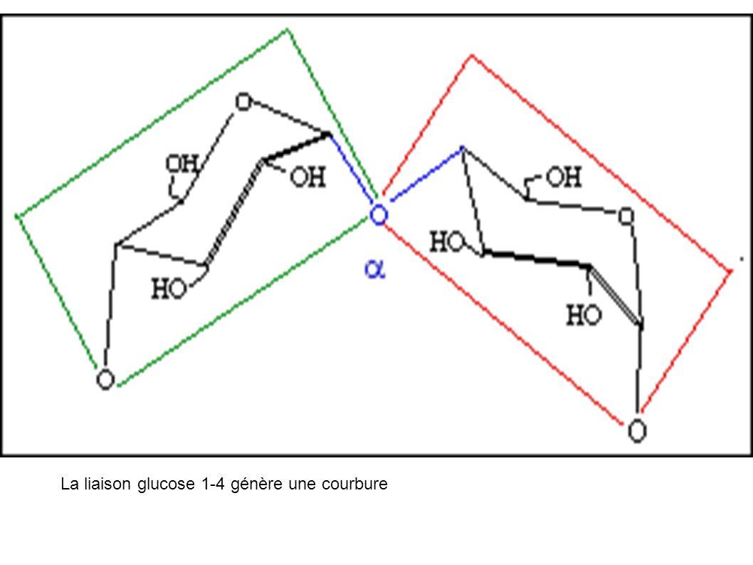 Amylopectine : la courbure de la liaison α1-4 entraîne un enroulement de la molécule