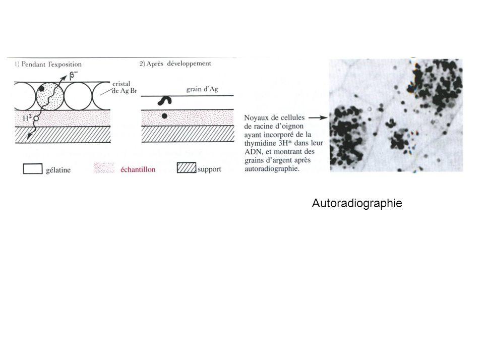 Cellule de Bacillus subtilis (x 32 000) Eubactérie de type Gram+ paroi membrane plasmique cytoplasme avec nombreux ribosomes chromosome bactérien Organisation de la paroi et de la membrane limitante de Bacillus subtilis membrane plasmique cytoplasme paroi