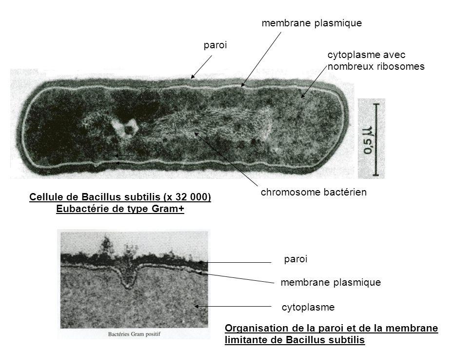 Cellule de Bacillus subtilis (x 32 000) Eubactérie de type Gram+ paroi membrane plasmique cytoplasme avec nombreux ribosomes chromosome bactérien Orga