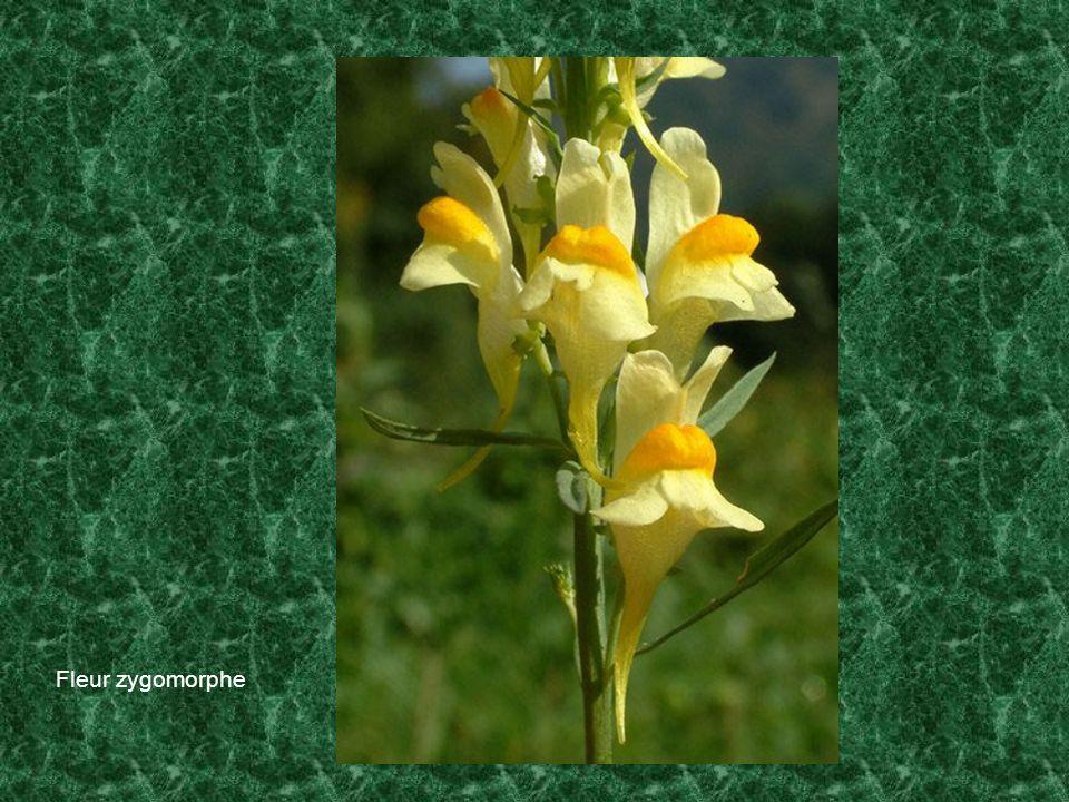 Fleur zygomorphe