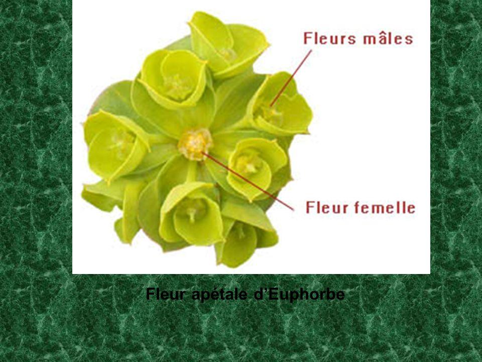 Fleur apétale dEuphorbe