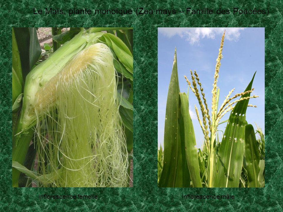 Le Maïs, plante monoïque (Zea mays – Famille des Poacées) Inflorescence femelleInflorescence mâle