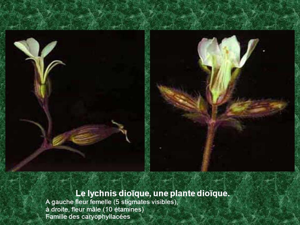 Le lychnis dioïque, une plante dioïque. A gauche fleur femelle (5 stigmates visibles), à droite, fleur mâle (10 étamines) Famille des caryophyllacées