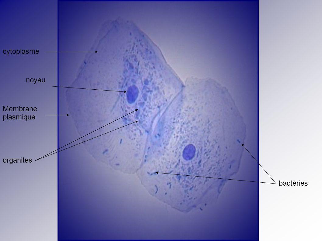 cytoplasme noyau Membrane plasmique organites bactéries