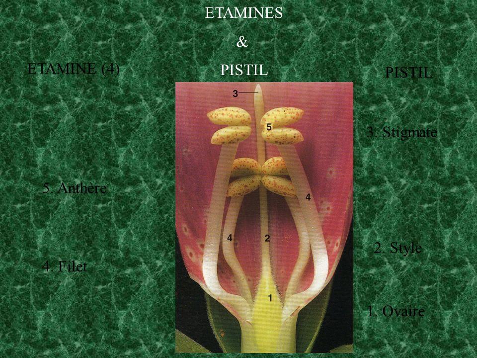 ETAMINES & PISTIL 1. Ovaire 2. Style 3. Stigmate PISTIL ETAMINE (4) 4. Filet 5. Anthère