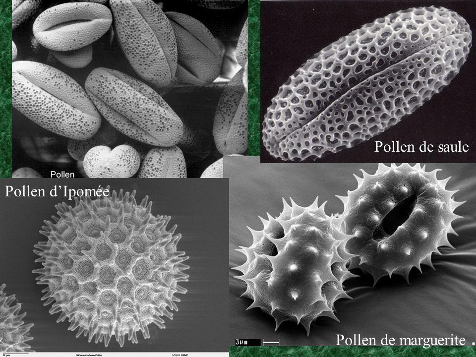 Pollen de marguerite Pollen dIpomée Pollen de saule