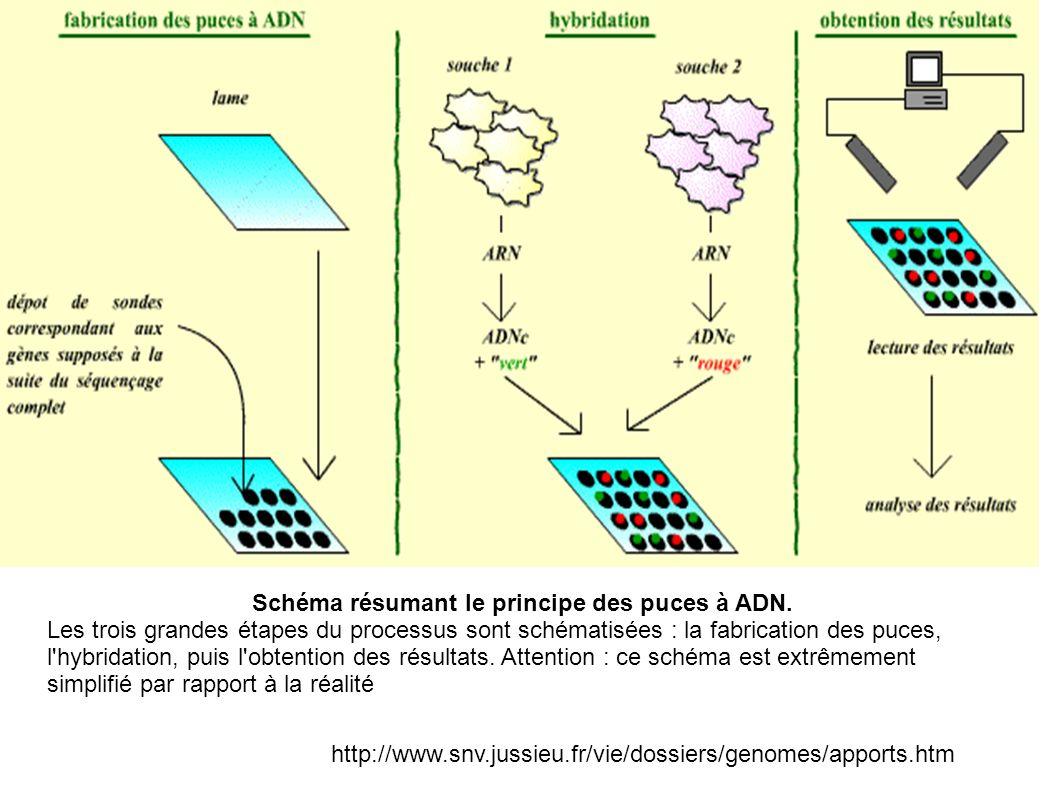 http://www.snv.jussieu.fr/vie/dossiers/genomes/apports.htm Schéma résumant le principe des puces à ADN. Les trois grandes étapes du processus sont sch