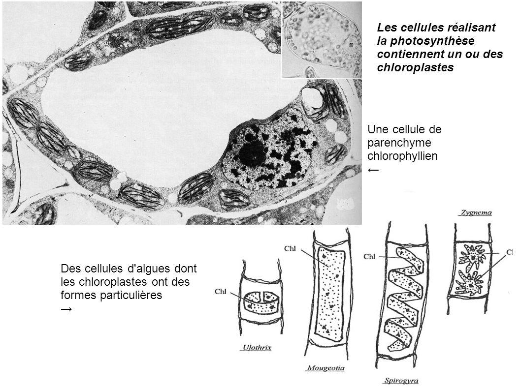 Les cellules réalisant la photosynthèse contiennent un ou des chloroplastes Une cellule de parenchyme chlorophyllien Des cellules d'algues dont les ch