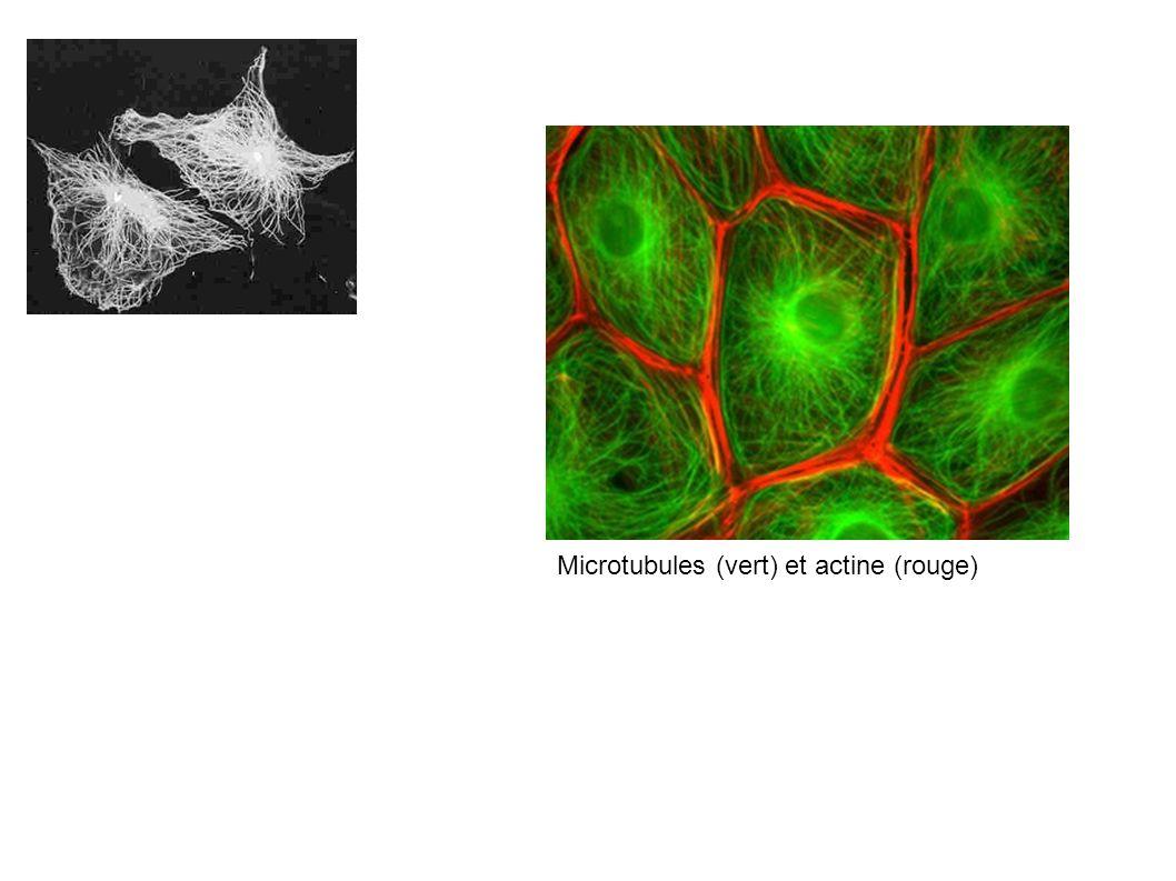 Microtubules (vert) et actine (rouge)