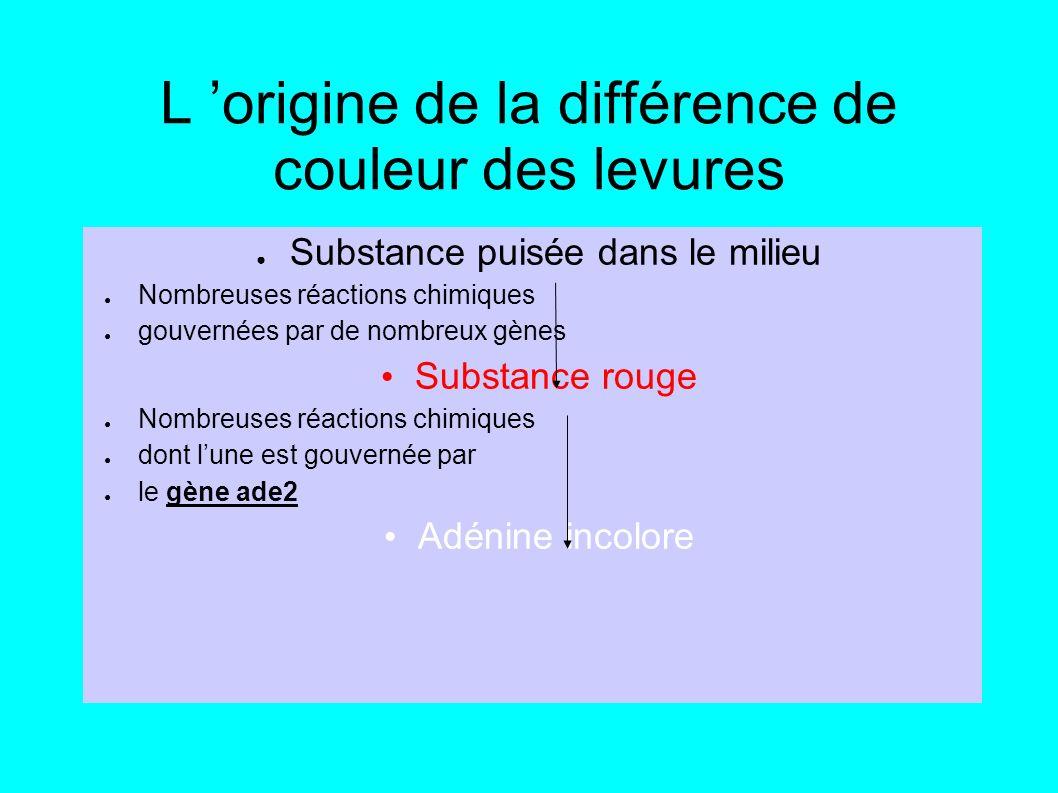 L origine de la différence de couleur des levures Substance puisée dans le milieu Nombreuses réactions chimiques gouvernées par de nombreux gènes Substance rouge Nombreuses réactions chimiques dont lune est gouvernée par le gène ade2 Adénine incolore