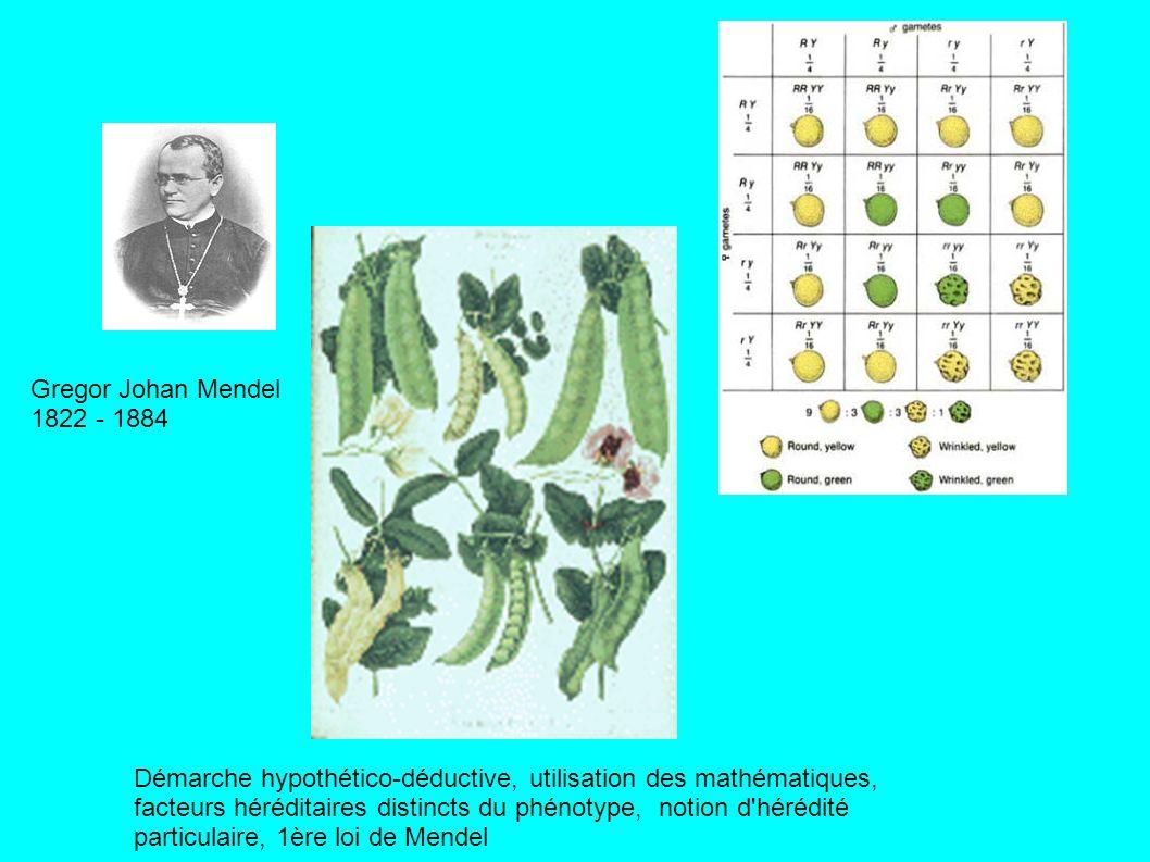 Gregor Johan Mendel 1822 - 1884 Démarche hypothético-déductive, utilisation des mathématiques, facteurs héréditaires distincts du phénotype, notion d hérédité particulaire, 1ère loi de Mendel