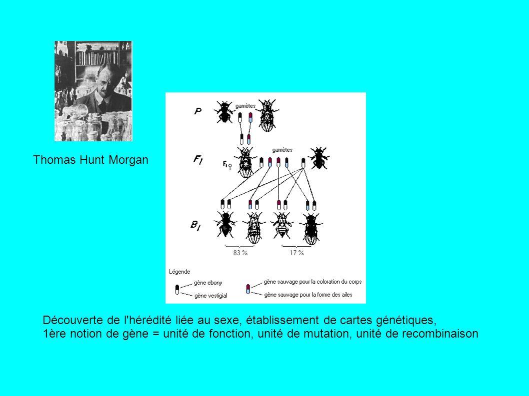 Thomas Hunt Morgan Découverte de l hérédité liée au sexe, établissement de cartes génétiques, 1ère notion de gène = unité de fonction, unité de mutation, unité de recombinaison