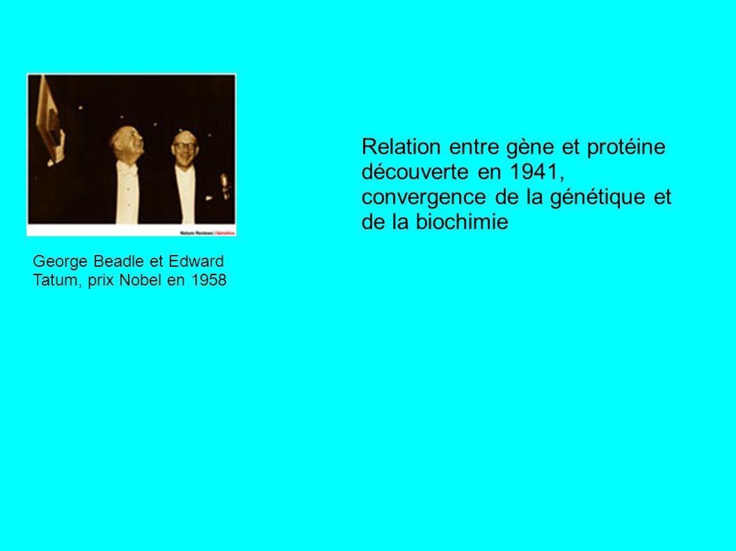 George Beadle et Edward Tatum, prix Nobel en 1958 Relation entre gène et protéine découverte en 1941, convergence de la génétique et de la biochimie