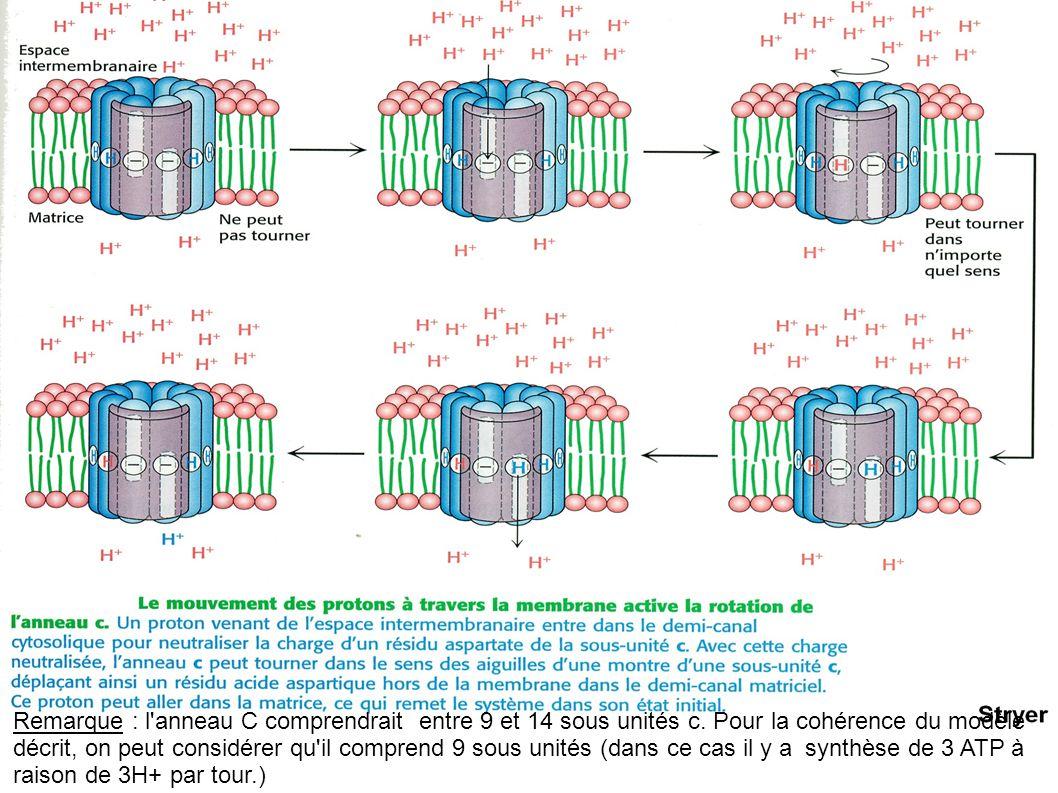 Remarque : l'anneau C comprendrait entre 9 et 14 sous unités c. Pour la cohérence du modèle décrit, on peut considérer qu'il comprend 9 sous unités (d