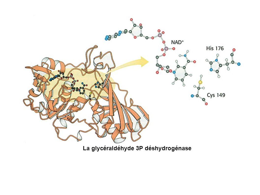La glycéraldéhyde 3P déshydrogénase