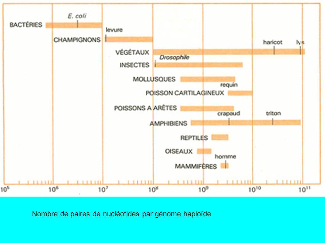 Chromosome métaphasique humain partiellement désorganisé par un traitement protéolytique.
