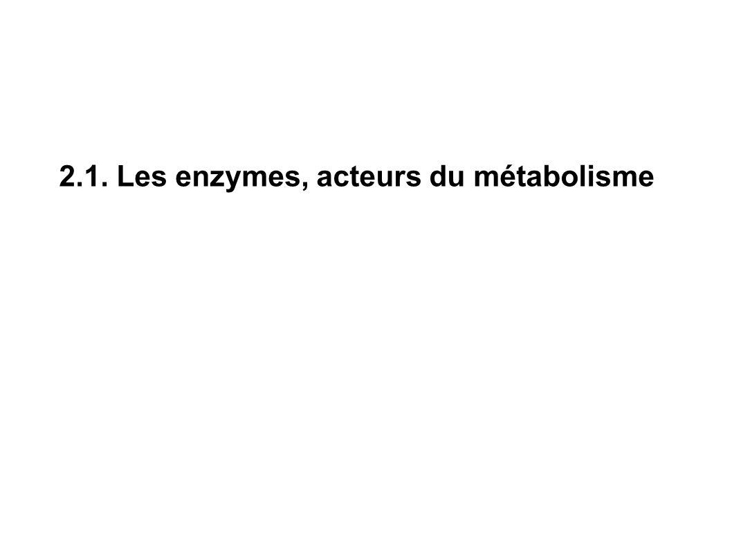 2.1. Les enzymes, acteurs du métabolisme