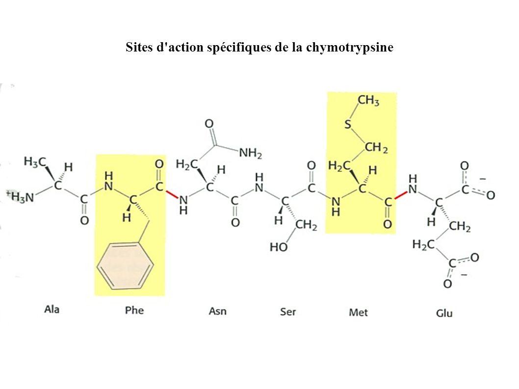 Sites d'action spécifiques de la chymotrypsine