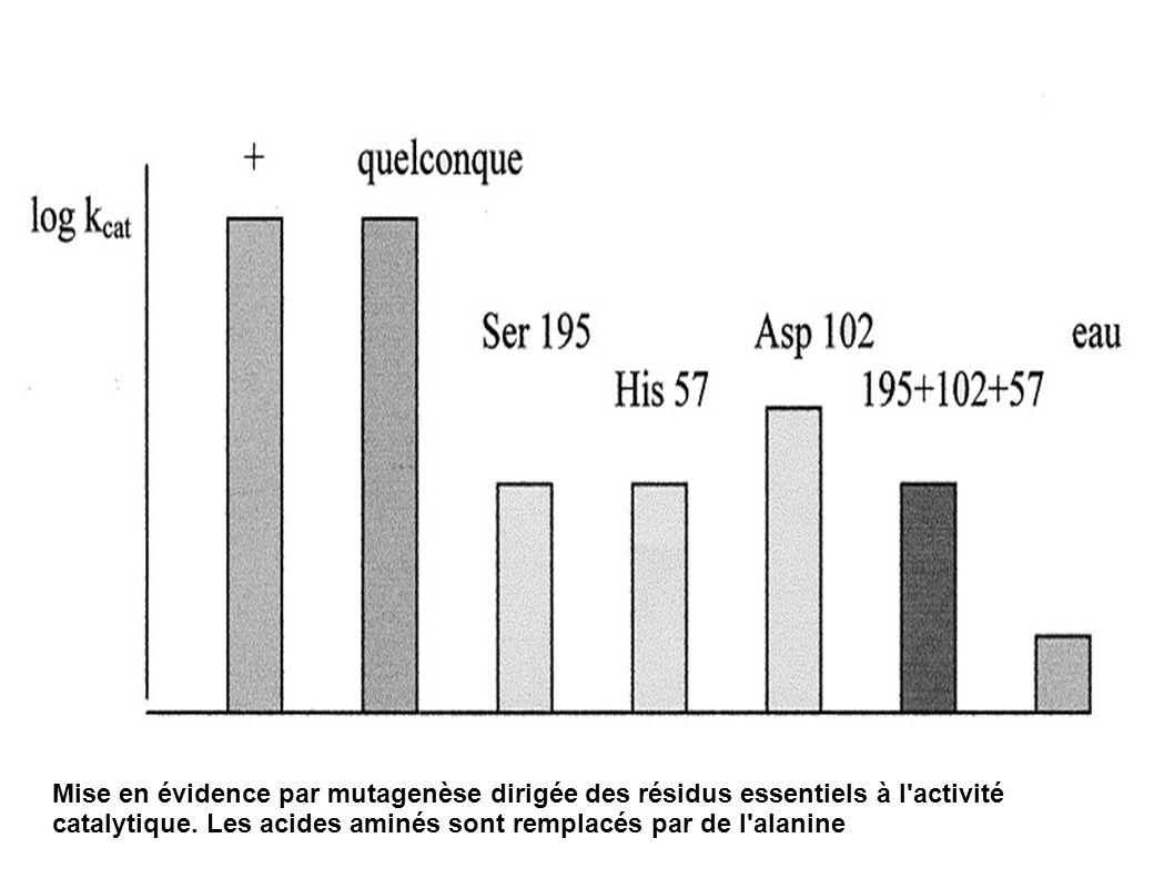Mise en évidence par mutagenèse dirigée des résidus essentiels à l'activité catalytique. Les acides aminés sont remplacés par de l'alanine