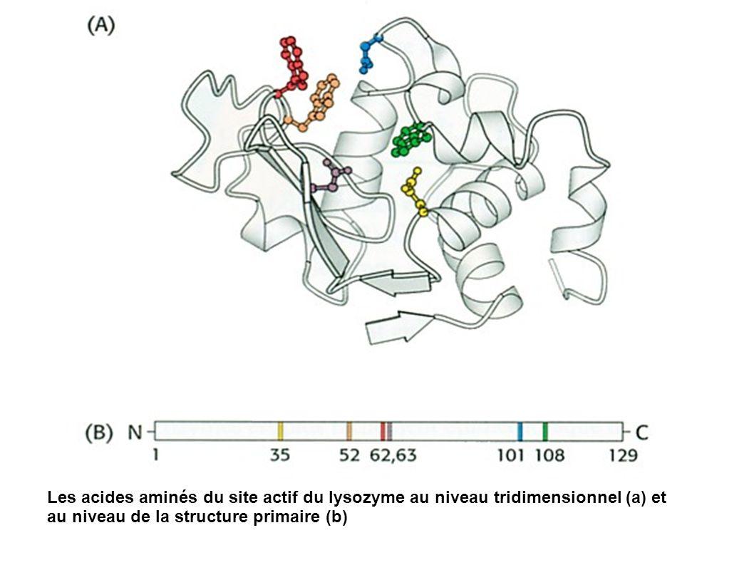 Les acides aminés du site actif du lysozyme au niveau tridimensionnel (a) et au niveau de la structure primaire (b)