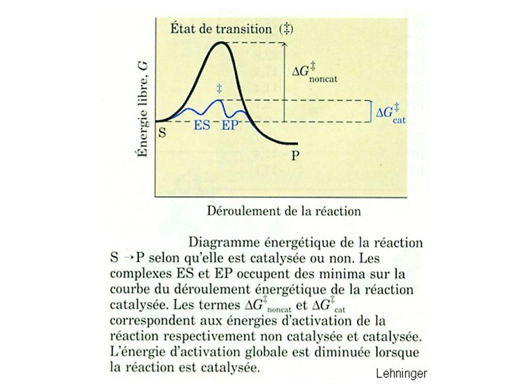 Localisation de la triade catalytique au sein de la molécule de chymotrypsine