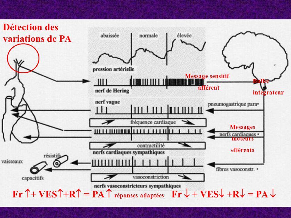 Détection des variations de PA Message sensitif afférent Bulbe intégrateur Messages moteurs efférents Fr + VES +R = PA réponses adaptées Fr + VES +R =
