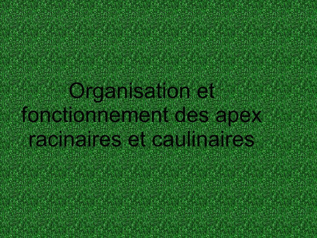 Organisation et fonctionnement des apex racinaires et caulinaires