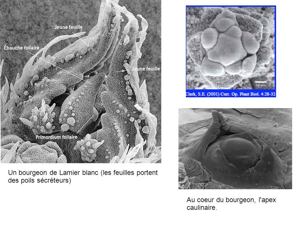 Un bourgeon de Lamier blanc (les feuilles portent des poils sécréteurs) Au coeur du bourgeon, l'apex caulinaire.