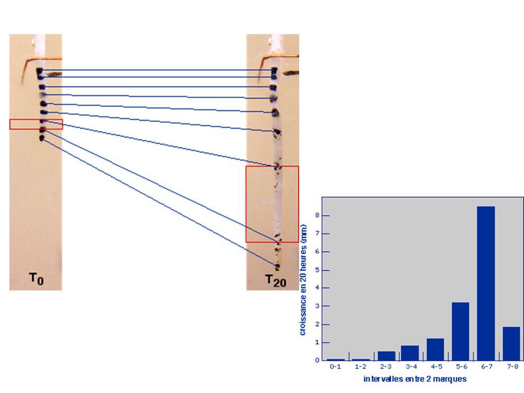 Zone axiale = méristème apical caulinaire Primordium foliaire Dernier entre noeud Avant dernier entre-noeud Méristème axillaire à l origine d un bourgeon axillaire feuille moelle épiderme procambium