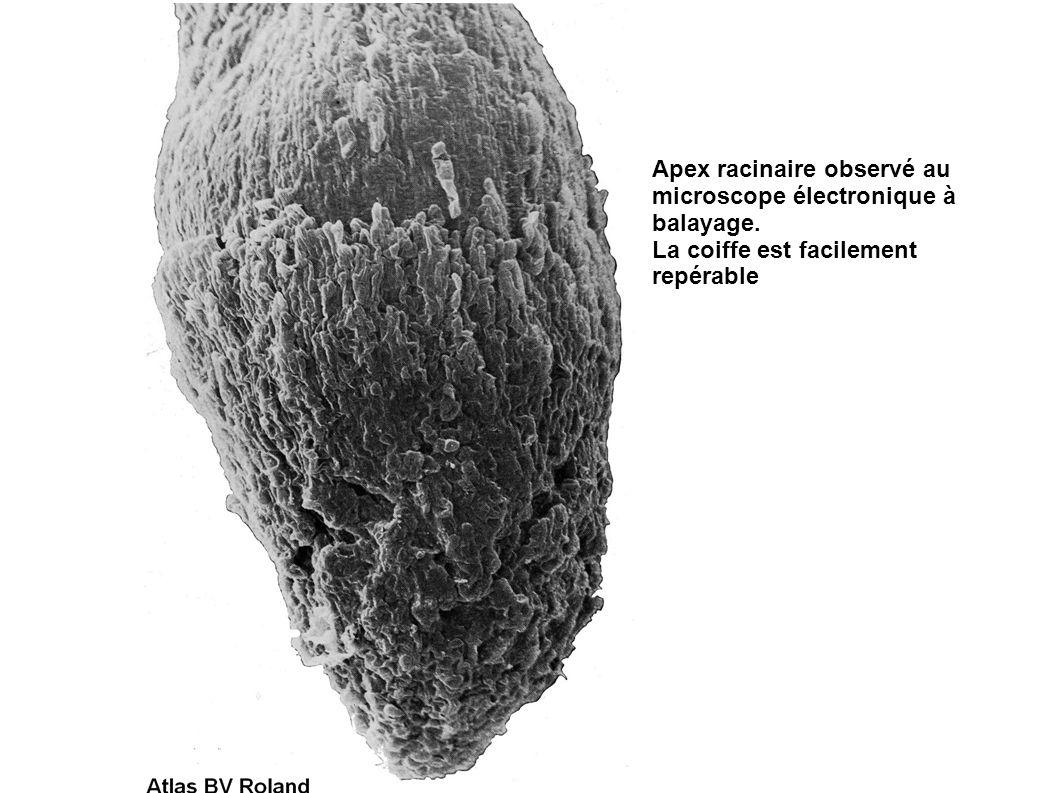 Apex racinaire observé au microscope électronique à balayage. La coiffe est facilement repérable